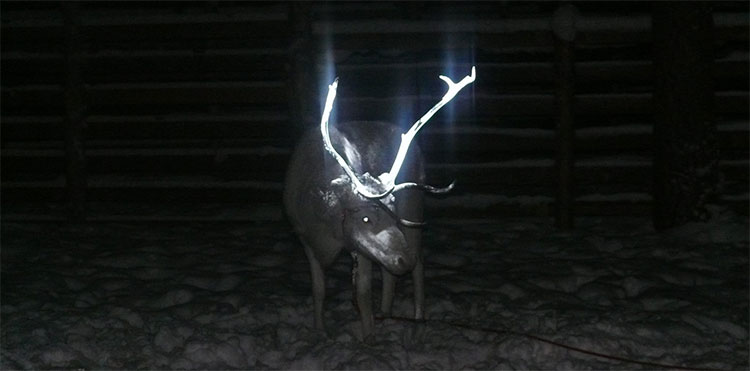 Đây là lý do tuần lộc ở quê hương ông già Noel có sừng phát sáng