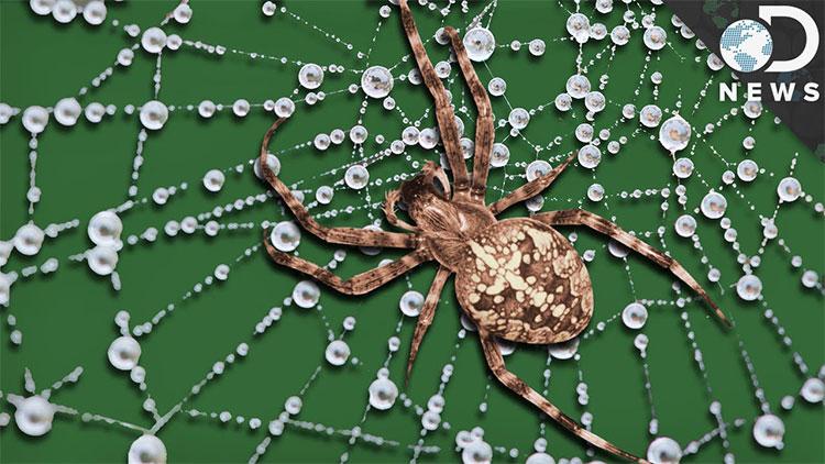 Đây là lý do vì sao tơ nhệnmỏng manh mà bền gấp 5 lần thép