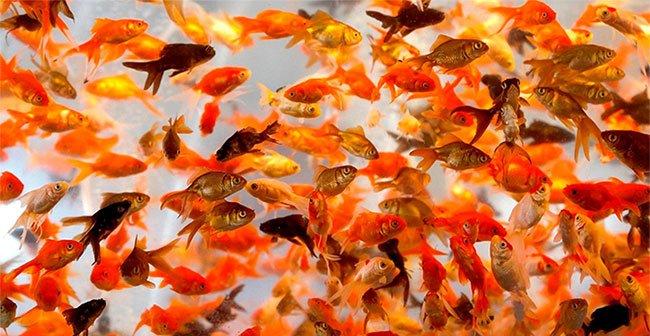Đây là những lý do bạn không nên thả cá vàng về tự nhiên