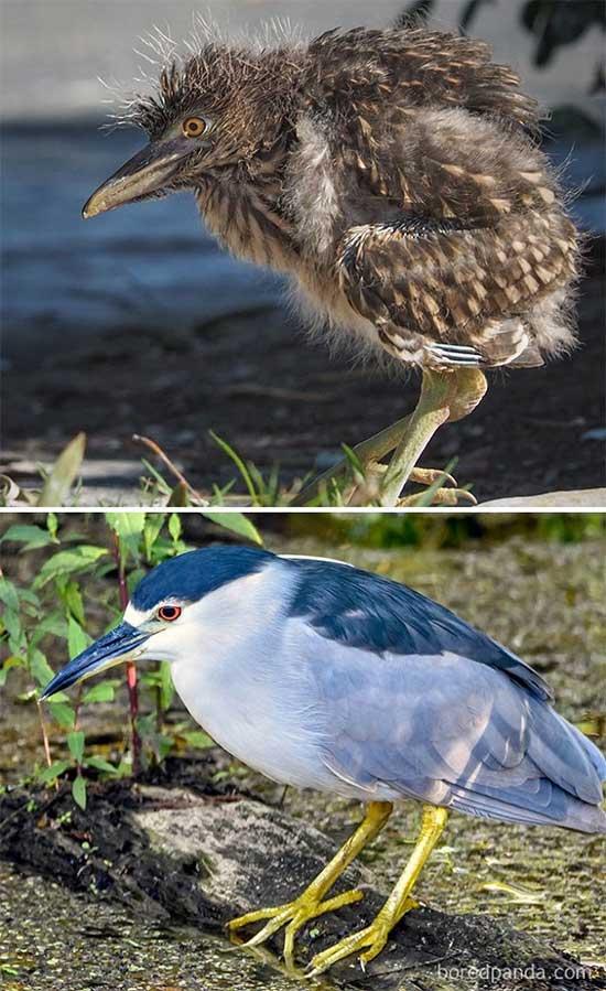 Điểm danh những loài chim dậy thì thành công khiến ai cũng ngỡ ngàng