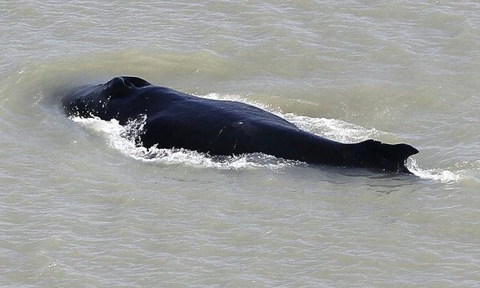 Điều gì xảy ra nếu cá voi lưng gù đụng độ cá sấu?