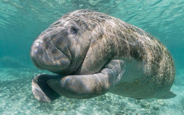 Điều kinh ngạc về lợn biển tiên cá ngoài đời thực