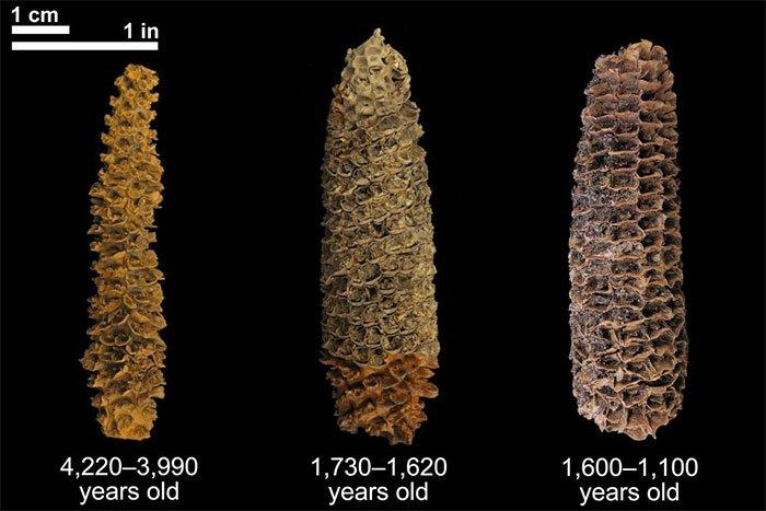 DNA cổ đại hé lộ lịch sử chưa từng biết của ngô