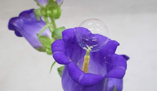 Độc đáo ý tưởng dùng bong bóng xà phòng thụ phấn cho hoa