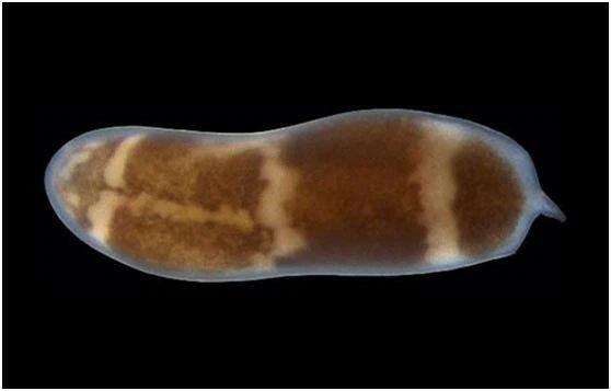 Động vật tái sinh nhiều nhất trên hành tinh, có thể phát triển ngay cả khi chỉ còn 1/200.000 cơ thể