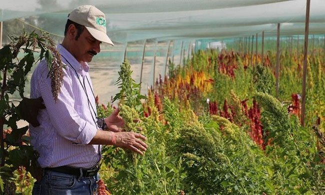 Dubai trồng cây siêu thực phẩm chịu mặn trên sa mạc
