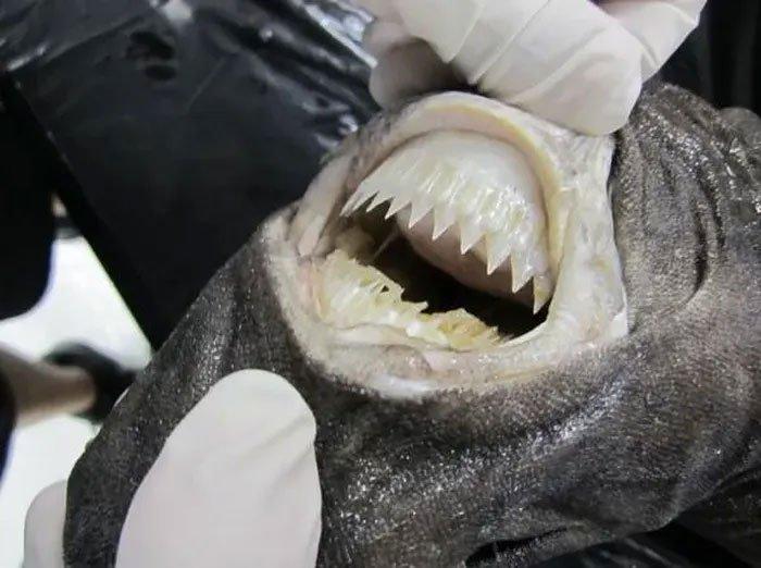 Dựng tóc gáy với hàm răng kinh dị làm thịt cả tàu ngầm của cá mập cắt bánh quy