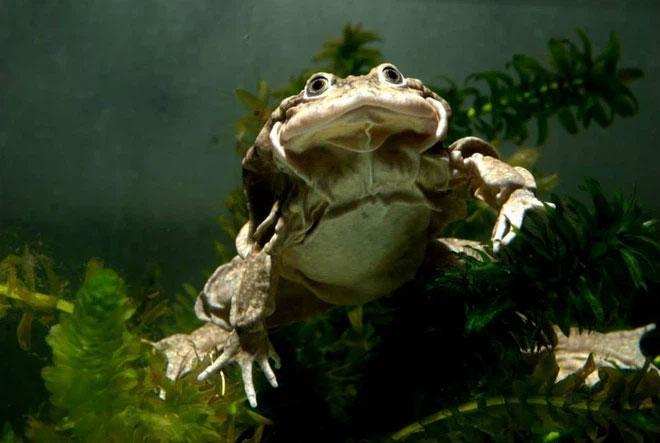 Ếch bìu! Loài ếch khổng lồ Peru đang bị đe dọa nghiêm trọng và chỉ còn sống ở hồ Titicaca
