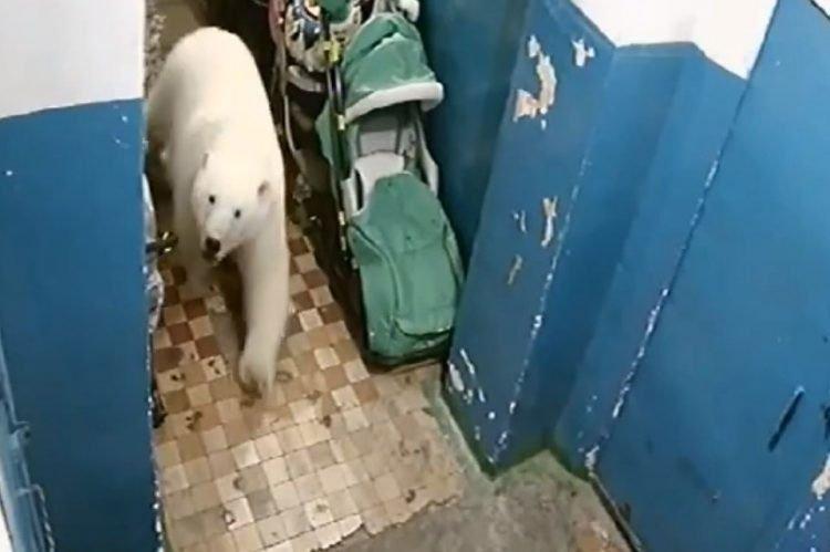 Gấu Bắc Cực bới rác kiếm ăn - Lời cảnh tỉnh đáng sợvề ô nhiễm môi trường