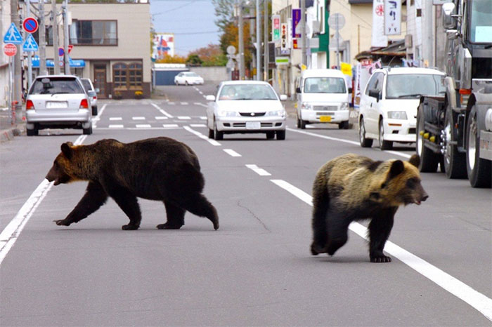 Gấu hoang dã bùng nổ ở Nhật, ảnh hưởng cuộc sống của người dân