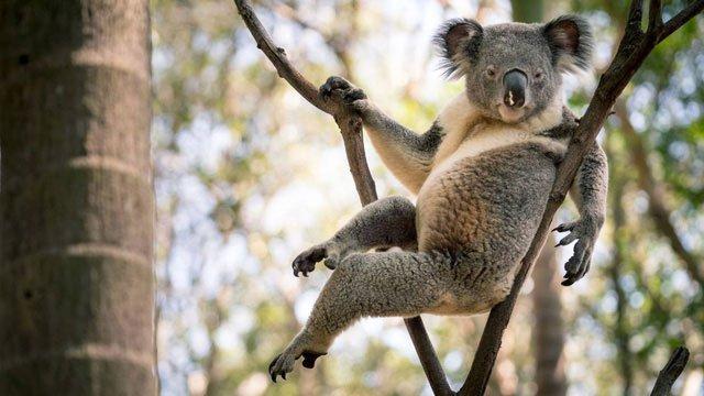 Gấu Koala trở thành ngôi sao mạng xã hội nhờ dáng ngồi sexy