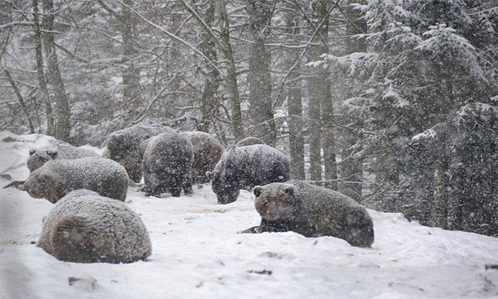 Gấu trốn ngủ đông do thời tiết ấm