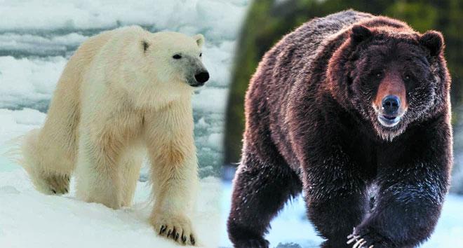 """Gấu xám trắng """"cực hiếm"""" và cuộc tình ngang trái xuyên địa lý trong bối cảnh biến đổi khí hậu toàn cầu"""