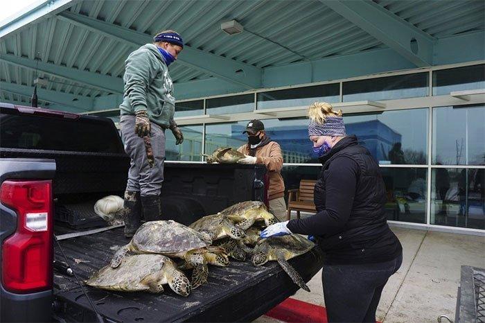 Giải cứu hàng nghìn con rùa biển có nguy cơ chết rét ở Texas