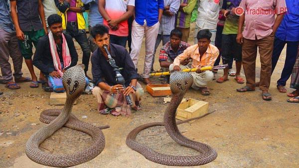 Giải mã bí mật đằng sau màn ảo thuật điều khiển rắn hổ mang bằng kèn của phù thủy rắn Ấn Độ