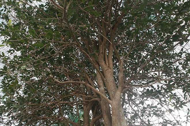 Giải mã cơn sốt Mộc Hương - loài cây đắt đỏ sánh ngang lan đột biến