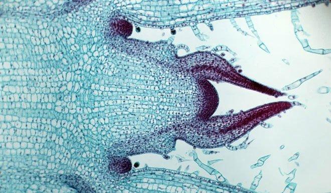 Giải mã được bí ẩn: Làm cách nào các tế bào thực vật biết thời điểm ngừng phát triển