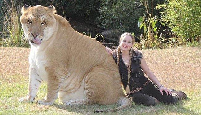 Giới thiệu về loài hổ và con hổ to nhất thế giới