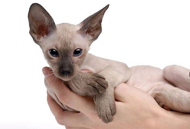 Giống mèo ít lông Peterbald, nhân sư vùng Petersburg