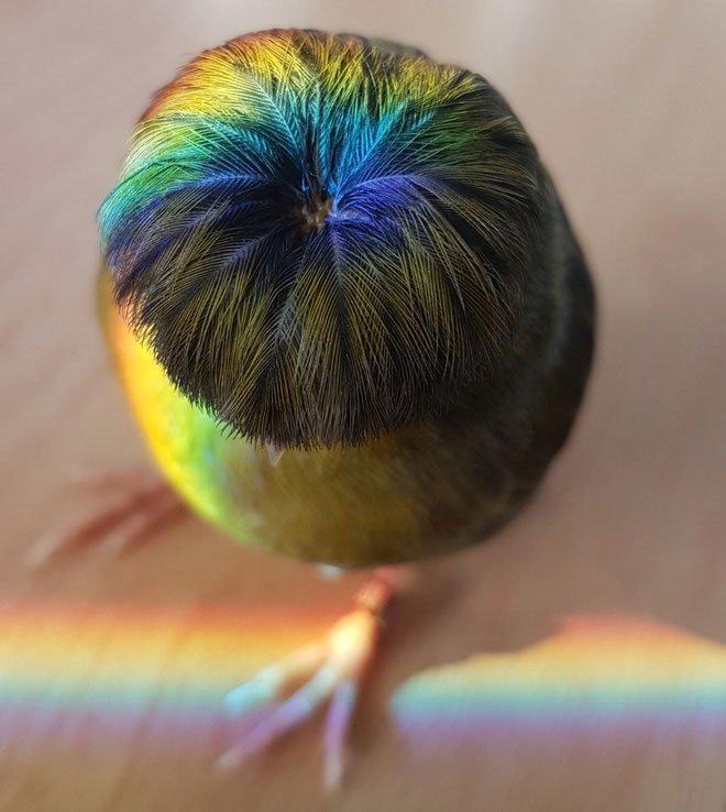 Gloster Canary: Loài chim kỳ lạ sở hữu quả đầu moi cực chất