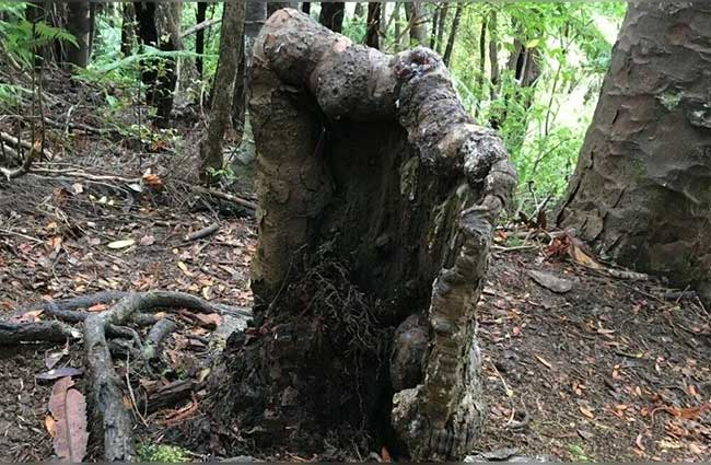 Gốc cây zombie được khu rừng nuôi sống
