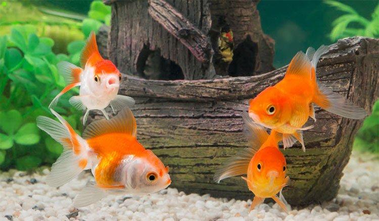 Gọi là não cá vàng, nhưng thực sự thì loài cá này nhớ được đến đâu?