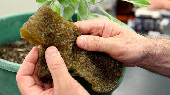 Guayule - Loại cây bụi dễ trồng cho mủ cao su tinh khiết làm lốp các loại xe trong tương lai
