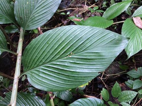 Hà Tĩnh: Công bố loài thực vật mới mang tên khoa học Zingiber vuquangense
