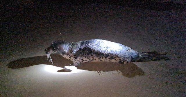 Hải cẩu quý hiếm bất ngờ xuất hiện ở biển Quảng Nam