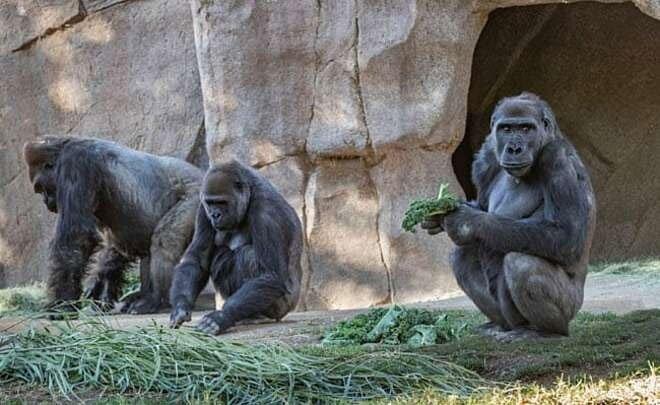 Hai con khỉ đột đầu tiên lây nhiễm nCoV từ người