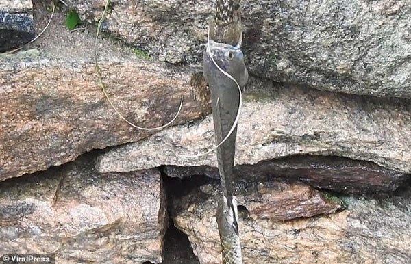 Hai con rắn và một con cá cắn đuôi nhau lơ lửng suốt 30 phút: Chúng đang làm gì?