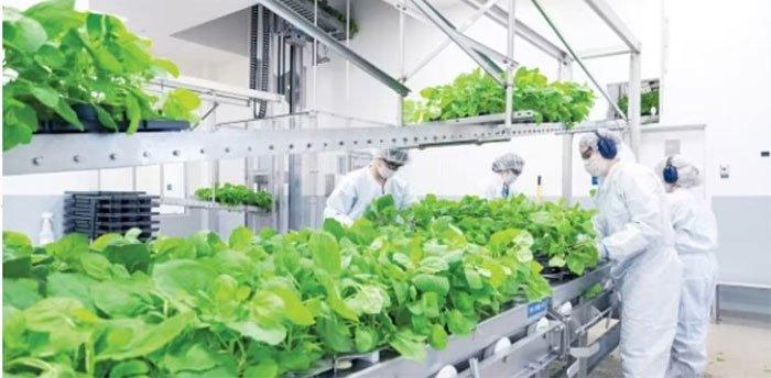 Hai nhà khoa học trồng phân tử để chế vaccine Covid-19 từ thực vật
