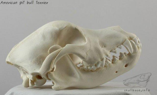 Hàm răng chó Pitbull khỏe cỡ nào mà cắn chết người như bỡn?