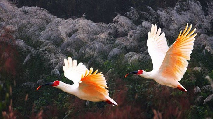 Hàn Quốc hồi sinh loài chim tuyệt chủng 40 năm