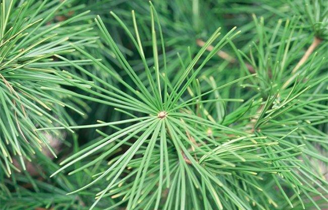 Hàn Quốc muốn dùng cây thông để đo nồng độ ô nhiễm không khí