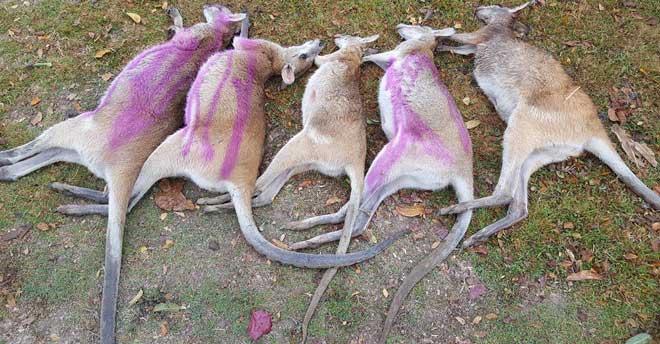 Hàng chục con chuột túi chết bí ẩn ở Australia