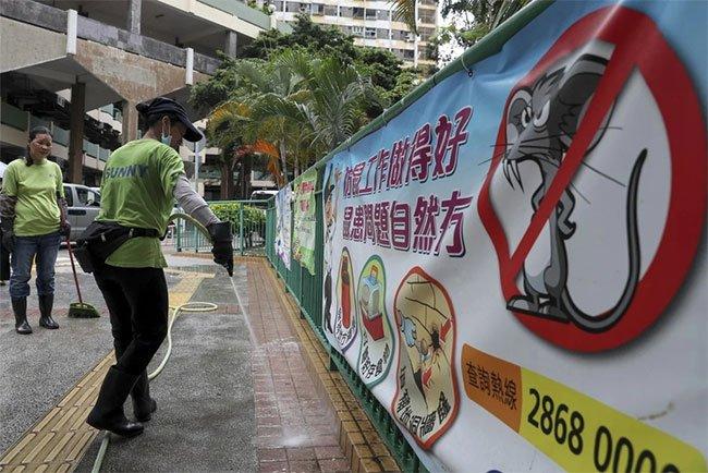Hàng loạt người Hong Kong nhiễm virus viêm gan một cách bí ẩn từ chuột