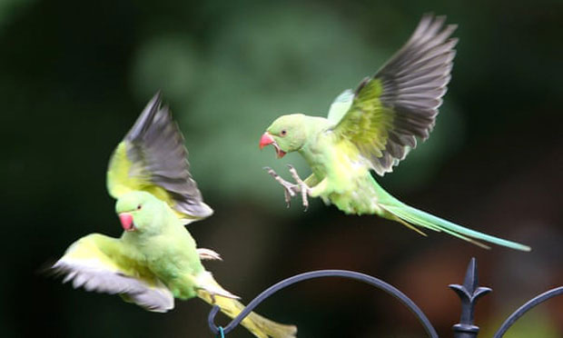 Hàng ngàn con vẹt xanh tự nhiên đổ bộ hàng loạt vào Anh Quốc