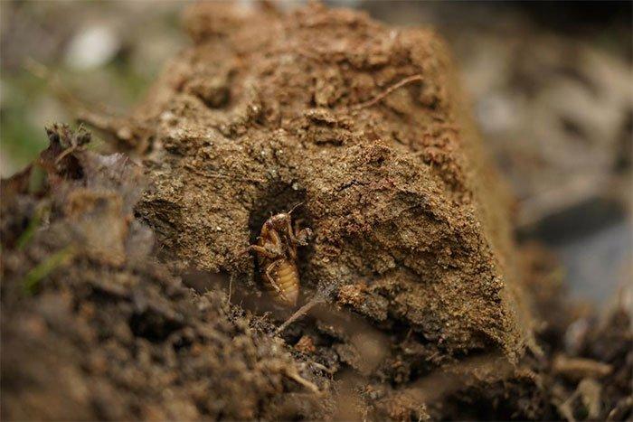 Hàng nghìn tỷ con ve sầu sắp trồi lên sau 17 năm ngủ vùi
