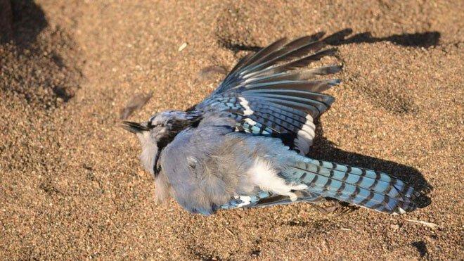 Hàng trăm con chim chết đầy bí ẩn trên khắp nước Mỹ