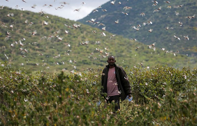 Hàng trăm triệu con châu chấu tấn công châu Phi, hủy diệt mùa màng