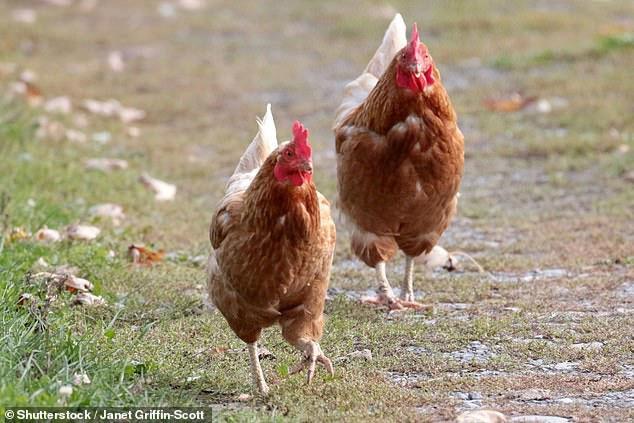 Hàng triệu năm nữa, người đời sau sẽ hiểu rằng Trái đất đang bị thống trị bởi... loài gà