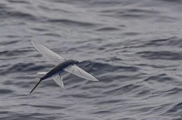 Hé lộ sự thật về loài cá bay