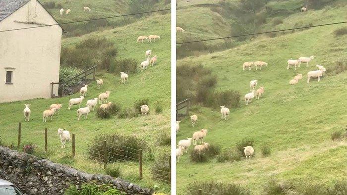 Hiện tượng kỳ lạ: Hàng trăm con cừu đứng bất động như bị thôi miên