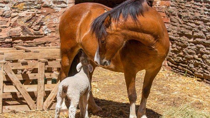 Hình ảnh hiếm thấy: Ngựa cái nuôi ba con cừu mồ côi