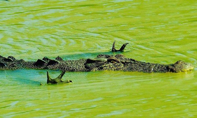 Hình ảnh ngộ nghĩnh: Cá sấu xòe tay để săn cá
