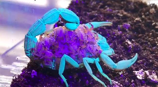 Hình ảnh tuyệt đẹp khi bọ cạp đổi đổi màu xanh và tím dưới tia UV