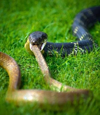 Hổ mang chúa đoạt mạng rắn chuột