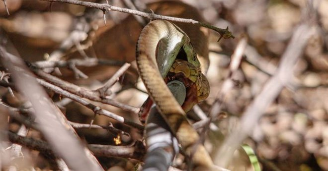 Hổ mang chúa tử chiến với Mamba đen cực độc: Kẻ sở hữu nụ hôn thần chết có thắng không?