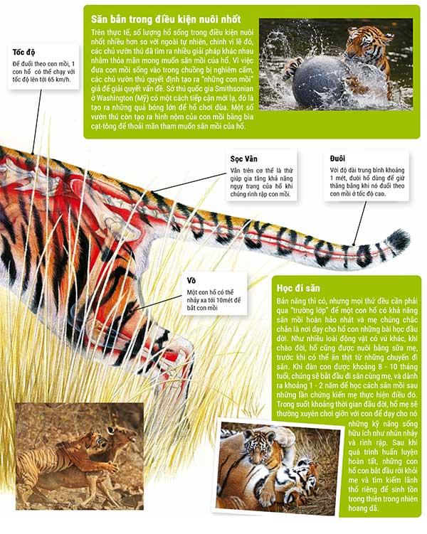 Hổ săn mồi như thế nào?